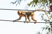 Monkey (crab-eating Macaque) On Power Cable In Thailand