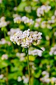 foto of buckwheat  - White flowers of buckwheat on the background of green leaves on the buckwheat field - JPG