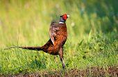 stock photo of pheasant  - Photo of a wild male pheasant calling  - JPG