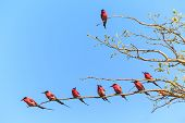 Tree With Bee Eaters Sitting On A Branch