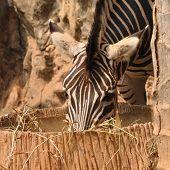 foto of eat grass  - Zebra eating dry grasses in public zoo  - JPG
