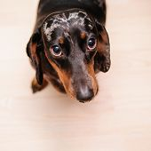 stock photo of dachshund dog  - funny dachshund dog standing on the floor in the room. top view ** Note: Visible grain at 100%, best at smaller sizes - JPG