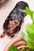stock photo of dog-house  - funny dachshund dog standing on the floor in the room. top view. portrait close-up. green house plant near to a dog