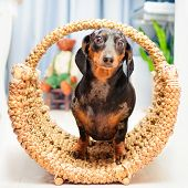 picture of hound dog  - happy dog - basset hound dachshund inside a wicker basket