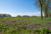 stock photo of row trees  - Purple wildflowers under a row of trees in spring - JPG