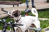 picture of dog park  - Young hunting dog among bicycles in park - JPG
