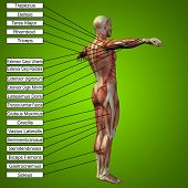 pic of triceps brachii  - Concept or conceptual 3D male or human anatomy - JPG
