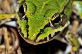 Moor Frog (rana Arvalis) Face