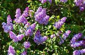 stock photo of lilac bush  - Close - JPG