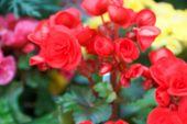 picture of begonias  - blurry defocused image of red begonia flower in flowerbed for background - JPG