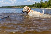 picture of bathing  - Labrador bathing in the river - JPG