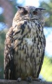 Big Eagle-Owl