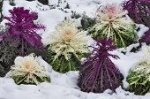 picture of water cabbage  - Some ornamental cabbage partially covered by the snow - JPG