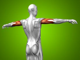 picture of triceps brachii  - Concept or conceptual 3D triceps human anatomy or anatomical and muscle on green gradient background - JPG