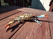 Blue Crab - In Fighting Stance 2010