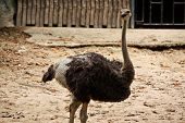 The ostrich in Thailand