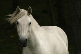 picture of workhorses  - a white horse in the wind with a dark background - JPG