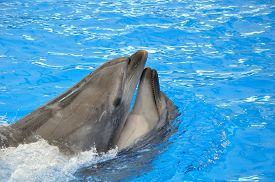 image of bottlenose dolphin  - two bottlenose dolphins in blue pool water - JPG