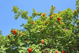 image of mountain-ash  - Rowan berries Mountain ash  - JPG