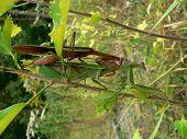 Bugs  Praying Mantis 004