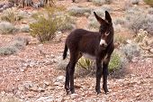 stock photo of burro  - Wild Burro Donkey Foal in Nevada Desert - JPG