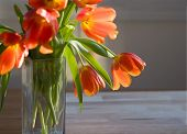 tulips in late afternoon light