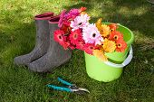 colorful daisies in bucket on lawn with dirty boots & secateurs - yardwork