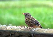 Young Sparrow Fledgling