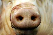Snout Of A Pig In Macro Picture