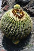 Cactus Echinocactus Grusonii Single