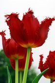 Red Tulip Flower In Bloom
