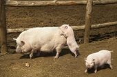 Family of pink pigs on the farm