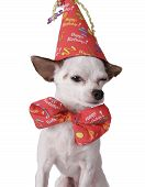 stock photo of birthday hat  - chihuahua on a white background in a birthday hat - JPG