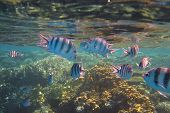picture of diskus  - lots of colorful fish on a coral reef in the red sea - JPG