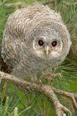 Wild baby Tawny owl sitting on a branch