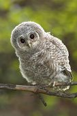 stock photo of pecker  - Wild baby Tawny owl sitting on a branch - JPG