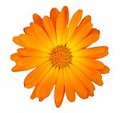 Orange flower head isolated on a white background