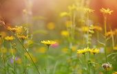 Summer meadow with yellow flowers. Summer meadow with flowers brightly illuminated by the sun. poster