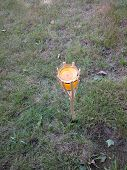 picture of citronella  - A citronella candle torch in a bamboo holder stuck in the grass - JPG