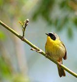 Cute Yellow Masked Bird