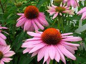 Echinachea Flowers