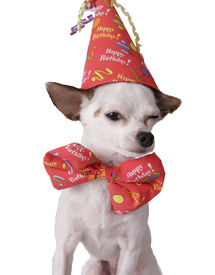 pic of birthday hat  - chihuahua on a white background in a birthday hat - JPG
