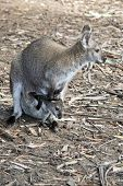 The Mother Wallaby Has A Joey In Her Pouch poster