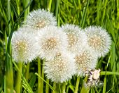 Group of dandelion blowballs