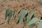 Flowering twig of Eucalyptus