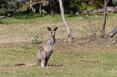 Young Kangaroo Joey In The Wild. Australian Wildlife Scene poster