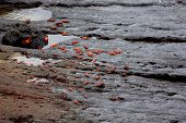 stock photo of crustations  - Sally lightfoot crabs on black lava rock - JPG
