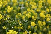 Mustard Flower. Close up of California wild flower super bloom. Hills awash with wild flowers bloomi poster
