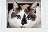 A Cat Half-breed Of Snow-shoe Sits In A Chair In The Apartment And Looks Up To The Side poster