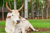 Cow Resting On Ground Restrained By Nose Ring And Rope To Tree In Subsistence Farming In Cuba. poster